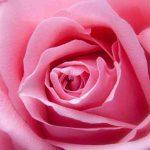 Rosenmesse in Bockstadt fällt aus